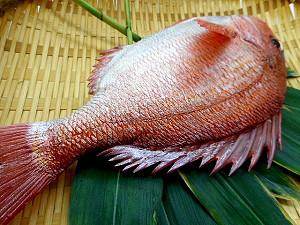 Муляж красного морского карася (вид с хвоста)