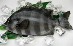 Муляж рыбы-попугай (31 см)-2