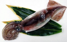 Макет кальмара (37 см)