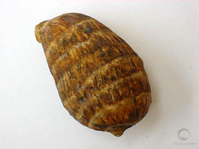 Клубень таро (57/95mm)